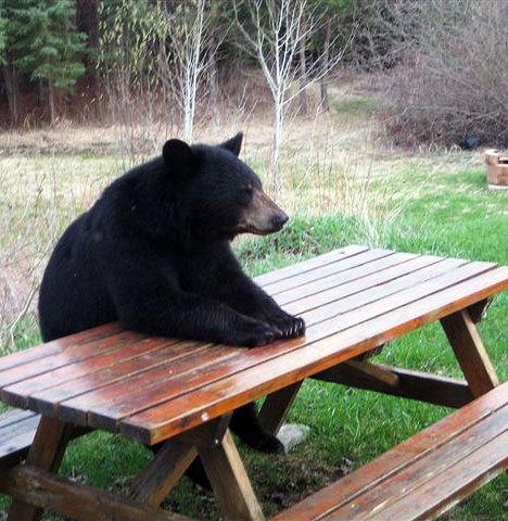 Bear Enjoys Picnic